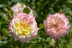 Close up of `Music Box` hybrid shrub rose in selective focus blooming in garden with another rose in blurred background royalty free stock photos
