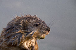 Close up Muskrat Royalty Free Stock Image