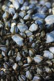 Mussels on a rock, Gower Peninsula, Swansea, Wales Stock Photos