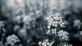 Close up mustard flower with black and white color Royalty Free Stock Photos