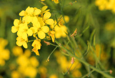 Close up of Mustard flower Stock Photography
