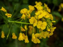 Focused mustard flowers on nature background royalty free stock photography