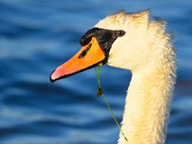 Close up of a Mute Swan.  royalty free stock photos