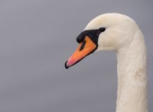 Close-up of a mute swan Stock Photo