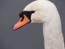 Close-up of a mute swan Royalty Free Stock Photography
