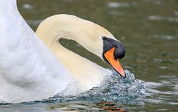 Swan neck in water royalty free stock photo