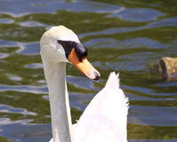 The close-up of the mute swan in the lake Royalty Free Stock Images