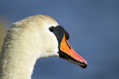 Close up of a mute swan looking across the water. A mute swan (Cygnus olor) with a wet face and feathers, looks across the water at a park in Dorset royalty free stock images
