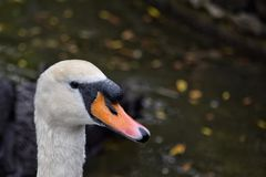 Close up of mute swan in St James Park London United Kingdom. Close up of head of mute swan royalty free stock photo