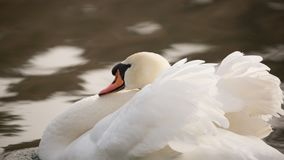 Close up of a mute swan in a threat display know as busking with wings half raised and neck curled back. A close up of a mute swan in a threat display know as royalty free stock images