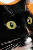 Close-up muzzle black and white cat Stock Image