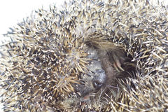 Close up of muzzle of curled hedgehog Stock Photography