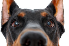 Close up of muzzle by doberman pinscher Royalty Free Stock Photos