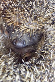 Close up of muzzle of hedgehog, vertical Stock Photo