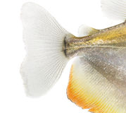 Close-up of a Mylossoma aureum's caudal fin, isolated. On white stock images