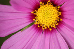 Close-up na margarida cor-de-rosa imagem de stock