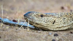 Close up of Namibian Rock monitor lizard varanus albigularis. Close up of namibian rock monitor lizard, lying in sand location: Warmwaterberge, Namibia stock image
