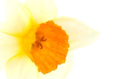 A close up of Narcissus flower. Royalty Free Stock Photo
