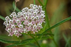 Close up of Narrow leaf milkweed Asclepias fascicularis wildflowers. Narrow leaf milkweed Asclepias fascicularis, blooming in San Francisco bay area, California royalty free stock photos