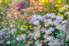 Daisy flowers. The close-up of nattier blue daisy flowers stock photos