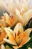 Many flowers of tiger lily, covered with drops of summer rain Royalty Free Stock Photo