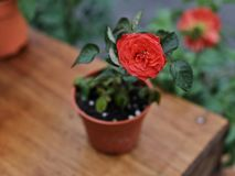Natural beautiful rose flower in pot on wooden table Stock Images