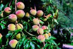 Close-up natural do jardim do verão, tempo de colheita Imagem de Stock