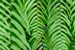 Close up of natural green fern leaves. royalty free stock images