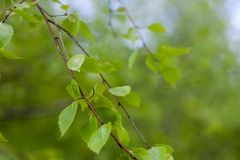 Close up of natural green leaves. Beautiful tree background royalty free stock photo