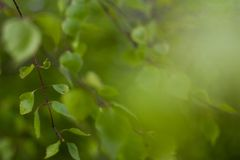 Close up of natural green leaves. Beautiful tree background royalty free stock photography