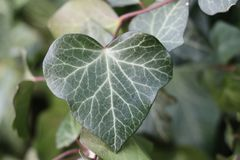 Close up of natural ivy plant heart with soft-focus background stock photo