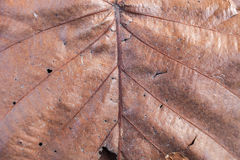 Close up natural old brown leaf background texture Royalty Free Stock Photo