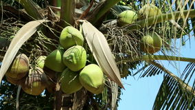 Close up of natural organic coconut tree, Cambodia stock footage