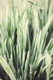 Close up nature background of vintage toned  daffodil leaves. High angle view of close up grass stem. Shallow focus of daffodil leaves. Processed and toned for a Stock Images