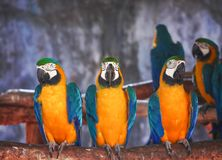 Nature colorful three blue and yellow macaw standing on the timber. Close up Nature colorful three blue and yellow macaw standing on the timber royalty free stock photography