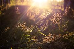 Close up nature grass / blades of grass. Summer macro scene on the field in sun rays royalty free stock image