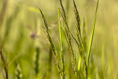 Green natural background with bokeh effect. Close-up of Nature view of green grass on blurred greenery background in field, natural background with copy space stock image