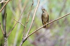 Naumann`s Thrush. The close-up of a Naumann`s Thrush stands on branch. Scientific name: Turdus naumanni Royalty Free Stock Images