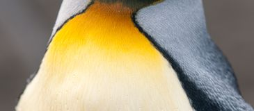 Close-up of neck feathers of adult King Penguin, South Georgia royalty free stock image