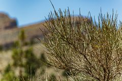 Close up of the needles of the Canarian broom, also known as Retama, endemic of Canary Islands growing at high altitude at Teide. National Park, Tenerife, Spain stock images