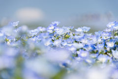 Close up Nemophila flower field. Close up Nemophila flower fileld at Hitachi Seaside Park in spring Stock Photo
