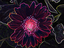 Close-Up Neon Outline of Gerber Daisy Flower Blossom Bloom Petal Royalty Free Stock Photo