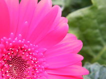 Close-Up of Neon Pink Gerber Daisy Flower Blossom Bloom Petal Stock Photos