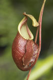 Close up of the nepenthes Stock Photo