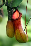 Close up of the nepenthes Royalty Free Stock Photography
