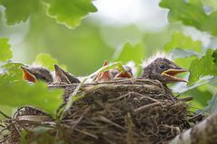 A close up of the nest of thrush with babies. stock photo
