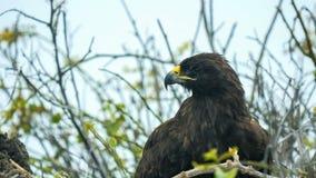 Close up of a nesting galapagos hawk on isla espanola in the galapagos. Islands, ecuador royalty free stock images