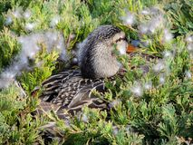 Close up of Nesting Hen mallard duck or Anas platyrhynchos female laying in a nest of urban bushes surrounded by feather down in I royalty free stock photo
