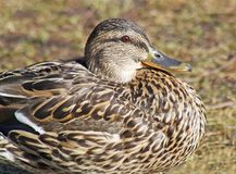 Close up of a nesting Mallard duck female Stock Images