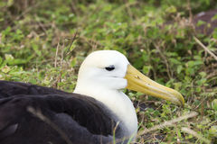 Close-up of a nesting waved albatross Royalty Free Stock Images